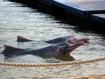 delfinvänner Arkivfoto