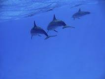 delfiny Zdjęcia Stock