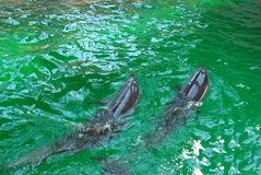 delfiny Obraz Stock
