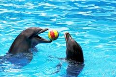 Delfiny bawić się piłkę Obrazy Stock