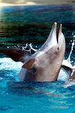 delfiny butlonose Obrazy Royalty Free