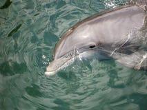 delfiny butlonose Zdjęcia Stock
