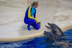 Delfiny czekać na trenera karmić one z rybą, jako nagroda dla ich akrobacji przy Seaworld obraz stock