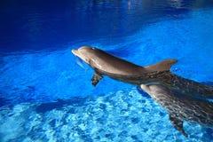 delfiny dwa Zdjęcia Royalty Free