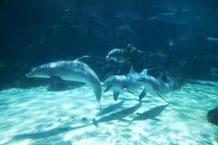 delfiny grupują pod wodą obrazy stock