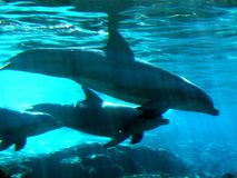 Delfiny na rafie koralowej fotografia stock
