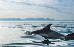 Delfiny, pływający w polowaniu dla ryba i oceanie Zdjęcie Royalty Free
