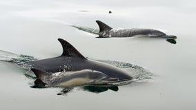 Delfiny, pływa w oceanie Fotografia Stock