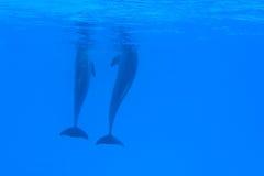 delfiny pod wodą dwa Obraz Stock
