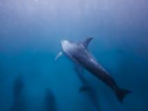delfiny podwodne Fotografia Royalty Free