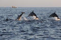 Delfiny przy Lovina wyrzucać na brzeg w Bali, Indonezja fotografia stock