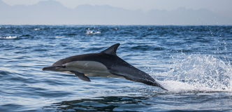 Delfiny skaczą out przy wysoką prędkością z wody afryce kanonkop słynnych góry do południowego malowniczego winnicę wiosna fałszy Zdjęcia Royalty Free