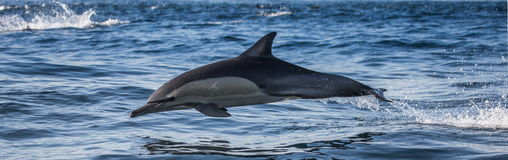 Delfiny skaczą out przy wysoką prędkością z wody afryce kanonkop słynnych góry do południowego malowniczego winnicę wiosna fałszy Zdjęcie Royalty Free
