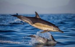 Delfiny skaczą out przy wysoką prędkością z wody afryce kanonkop słynnych góry do południowego malowniczego winnicę wiosna fałszy Zdjęcie Stock