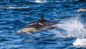 Delfiny skaczą out przy wysoką prędkością z wody afryce kanonkop słynnych góry do południowego malowniczego winnicę wiosna fałszy Fotografia Stock