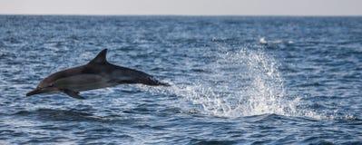 Delfiny skaczą out przy wysoką prędkością z wody afryce kanonkop słynnych góry do południowego malowniczego winnicę wiosna fałszy Obrazy Stock