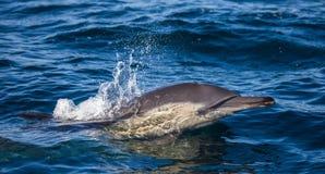 Delfiny skaczą out przy wysoką prędkością z wody afryce kanonkop słynnych góry do południowego malowniczego winnicę wiosna fałszy Fotografia Royalty Free