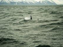 Delfiny w Husavik Iceland Obrazy Stock