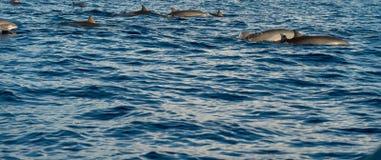 Delfiny w Pacyficznym oceanie Obraz Stock