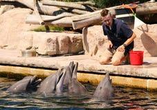Delfiny ćwiczy, skacze i bawić się, Zdjęcia Stock
