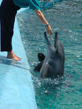 Delfín con el amaestrador Fotografía de archivo