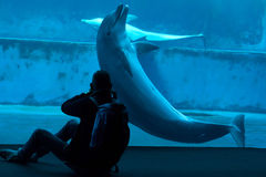 Delfín de bottlenose común (truncatus del Tursiops) Imagen de archivo libre de regalías