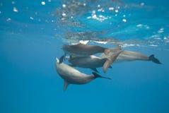 Delfínes de acoplamiento del hilandero en el salvaje. Imagen de archivo libre de regalías