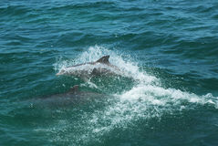 Delfínes de Bottlenose Fotografía de archivo libre de regalías