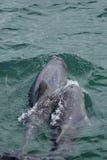 Delfínes del blanco chino (Sousa chinensis) Fotos de archivo