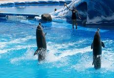 Delfínes entrenados que juegan con su amaestrador Imagen de archivo libre de regalías