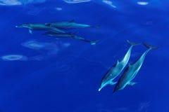 Delfínes rayados de la isla de Carribian de Dominica Foto de archivo libre de regalías