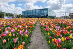 DELFT, the NETHERLANDS - APRIL 26, 2018: A tulip garden in front of the new townhall / railway station in Delft. royalty free stock image