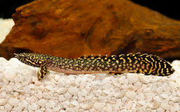 Delhezi Ornate Bichir Eel Catfish Polypterus ornatipinnis tropical aquarium fish Stock Images