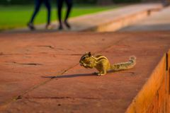 DELHI, INDIA - SEPTEMBER 25 2017: Beautiful little squirrel eating a seed in Sawan or Bhadon Pavilion in Hayat Baksh. Bagh of Red Fort at Delhi, India Stock Image