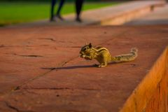 DELHI, INDIA - SEPTEMBER 25 2017: Beautiful little squirrel eating a seed in Sawan or Bhadon Pavilion in Hayat Baksh Royalty Free Stock Photography