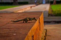 DELHI, INDIA - SEPTEMBER 25 2017: Beautiful little squirrel walking in Sawan or Bhadon Pavilion in Hayat Baksh Bagh of Stock Photos