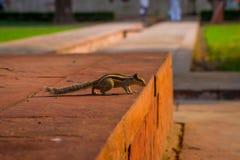 DELHI, INDIA - SEPTEMBER 25 2017: Beautiful little squirrel walking in Sawan or Bhadon Pavilion in Hayat Baksh Bagh of. Red Fort at Delhi Stock Photography