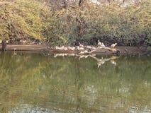 Delhi zoo duck beautifull royalty free stock image