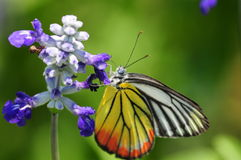 Delias hyparete hierte . Delias hyparete hierte, a type of butterfly royalty free stock photo