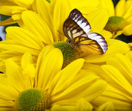 Delias sp. Butterfly Royalty Free Stock Image