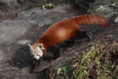 Deliberate red panda Stock Photography