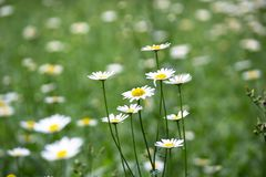 Delicacy of daisies flower Royalty Free Stock Image