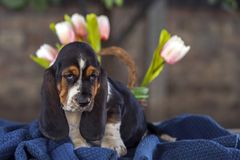 Delicadamente cachorrinho do cão de Basset em uma cobertura Fotografia de Stock Royalty Free