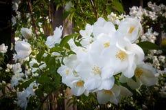 Delicado, blanco, rosas del golpe de gracia en la plena floración fotografía de archivo