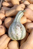 Delicata crook neck squash Royalty Free Stock Photography