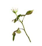 Delicatamente germoglio di rosa di bianco isolato su bianco Fotografia Stock Libera da Diritti