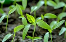 Delicatamente verde, giovani piantine di peperone dolce fotografia stock