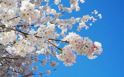 Free Delicate And Beautiful Cherry Blossom Against Blue Sky Background. Sakura Blossom. Stock Photo - 216388060