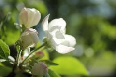 Delicate Apple blossom. Macro photography flowers Apple trees. White-pink delicate flowers glow in the sun Royalty Free Stock Images