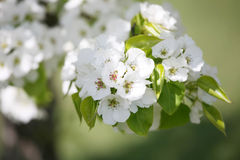 Delicate apple or plum blossoms Stock Image